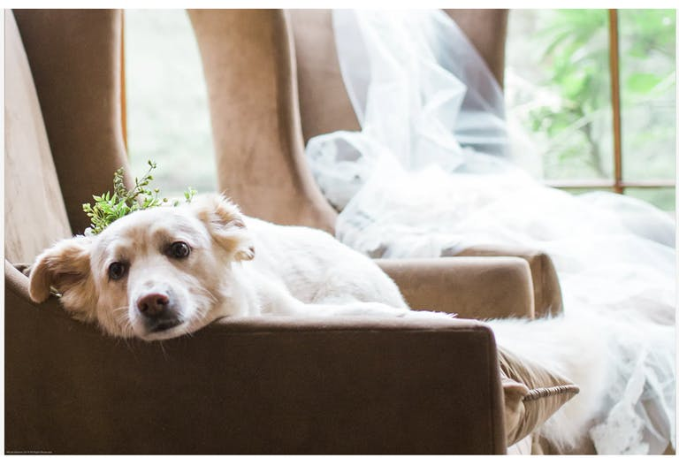 puppy lying on chair with bridal veil
