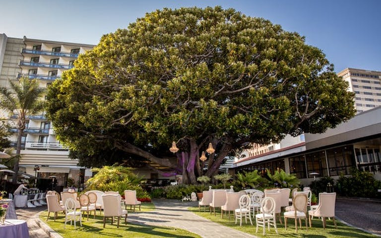 A massive tree is in the front yard of a hotel. chairs are on either side of an aisle that lead underneath the tree on green grass.